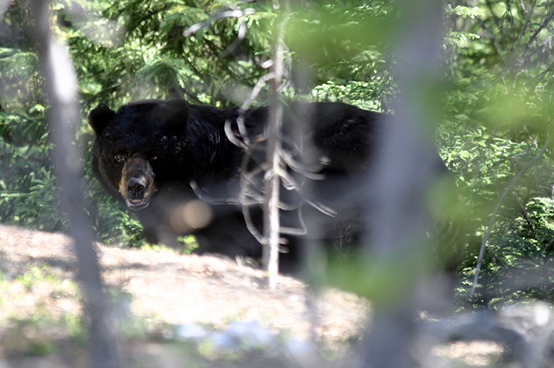 Fatal Black Bear Attack in New Jersey is First in Recent History