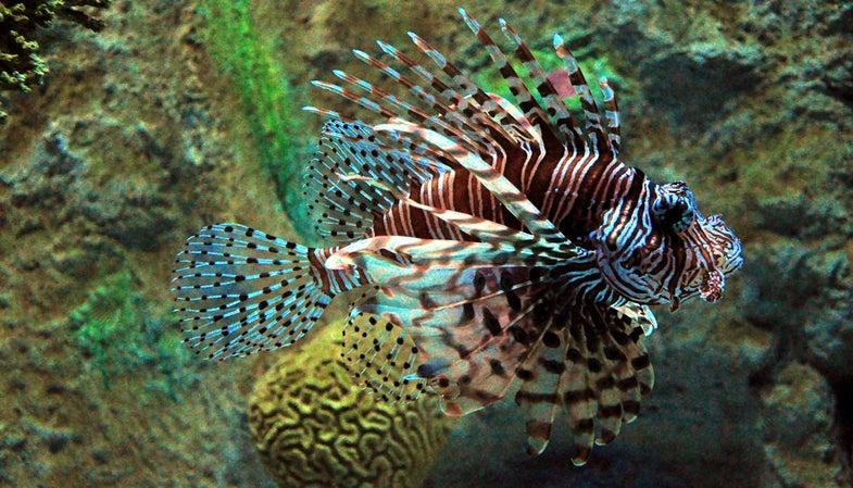 lionfish, florida, conservation,