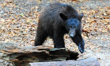 First Florida Bear Hunt in Decades Considered a Success, Shut Down After Two Days
