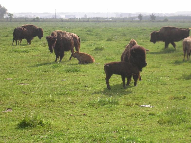 The Rare Black Buffalo of Long Island