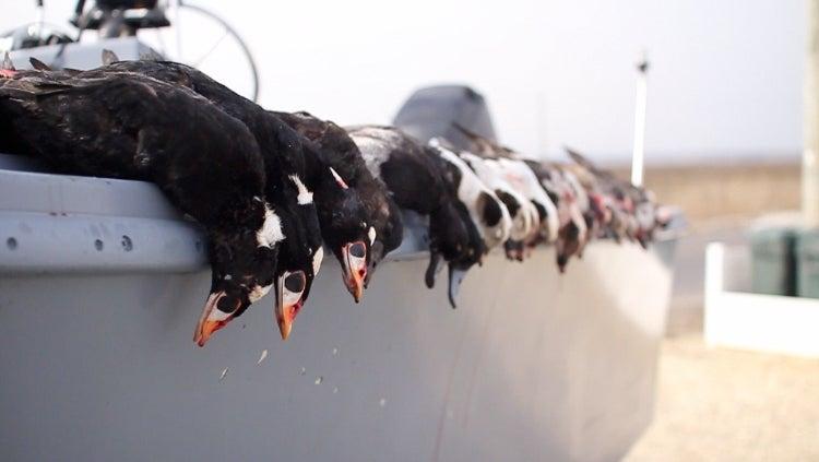 sea duck hunting