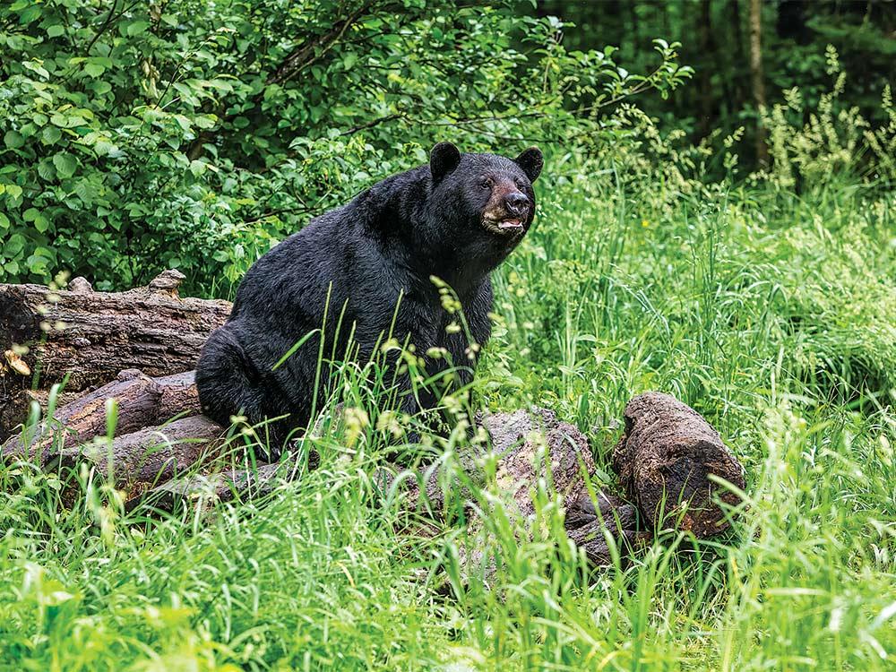 minnesota bruin black bear