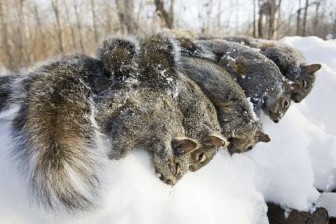 How to Hunt Late-Winter Squirrels