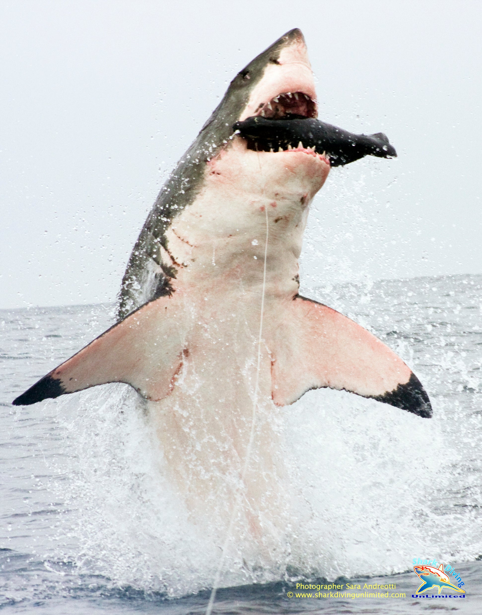 Photos: Great White Sharks Breaching for Photog's Synthetic Seal Lure