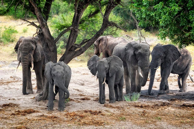 Elephants in Botswana Become Danger to Small Villages After Hunting Ban