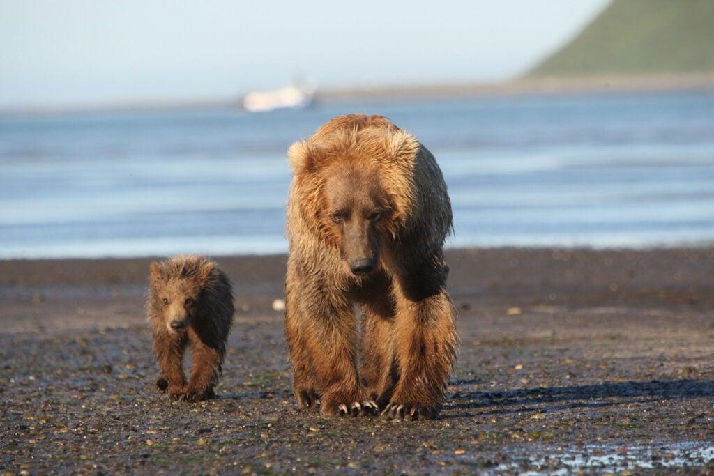 httpswww.fieldandstream.comsitesfieldandstream.comfilesimport2014importImage2011photo38356BARM_BearWars_Alaska_EXCL_023.jpg