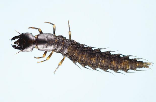 Fly Tying: Turn Common Flies into Deadly Hellgrammite Imitators