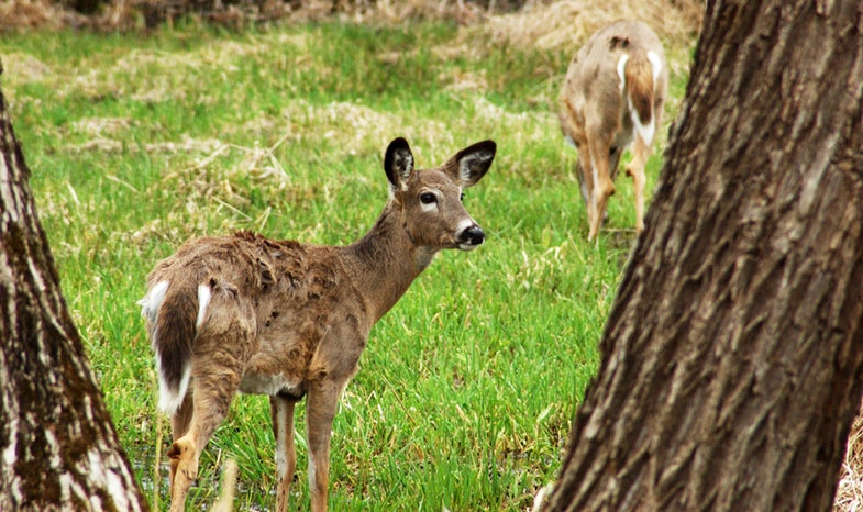 Malaria Found Among Surprising Number of Whitetails