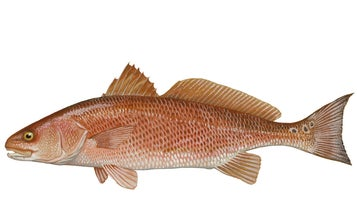 """Report: Redfish in Gulf Harmed by Even """"Micro-Drops"""" of Oil"""