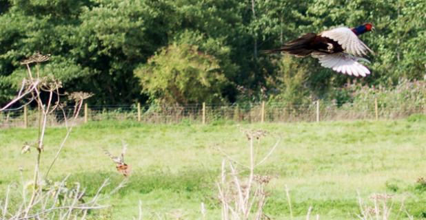 Gun Nut Challenge The Wild Pheasant