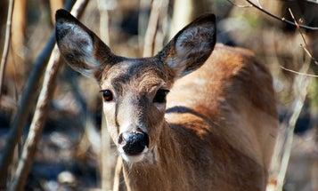 Bluetongue Claims Hundreds of Deer in Washington and Idaho