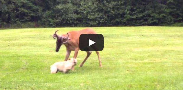 Video: French Bulldog and Velvet Buck Spar in Backyard