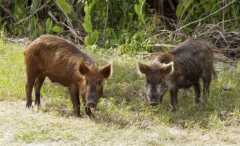 Florida Rancher Finds Profitable Solution for Statewide Feral Pig Problem