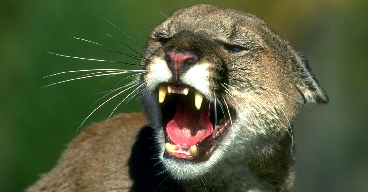 Bear Hunting, Mountain Lion Trapping Up for Debate in New Mexico