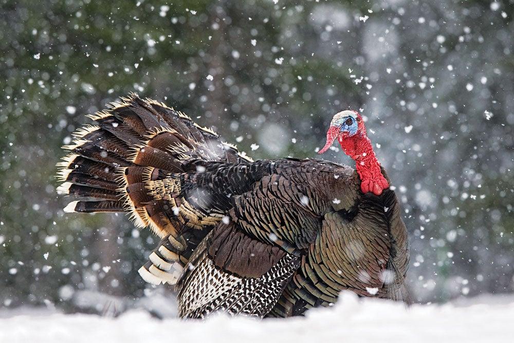 Merriam Gobbler Winter Storm