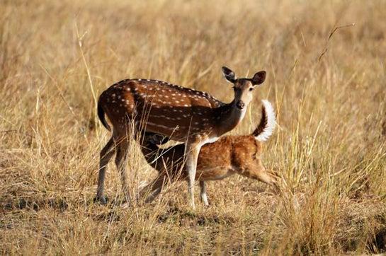 NY Village to Control Deer Population With Doe Sterilization Program