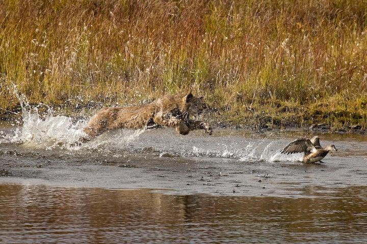 Lynx Chase
