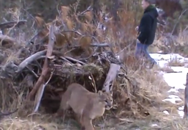 Video: Hunter Risks Safety to Release Mountain Lion from Trap