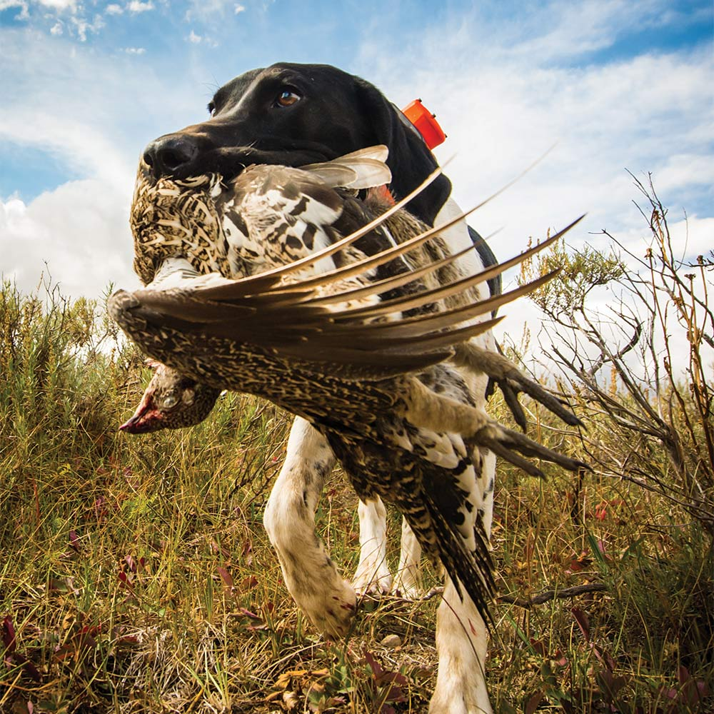 A german shorthaired pointer carrying a sage grouse in its mouth