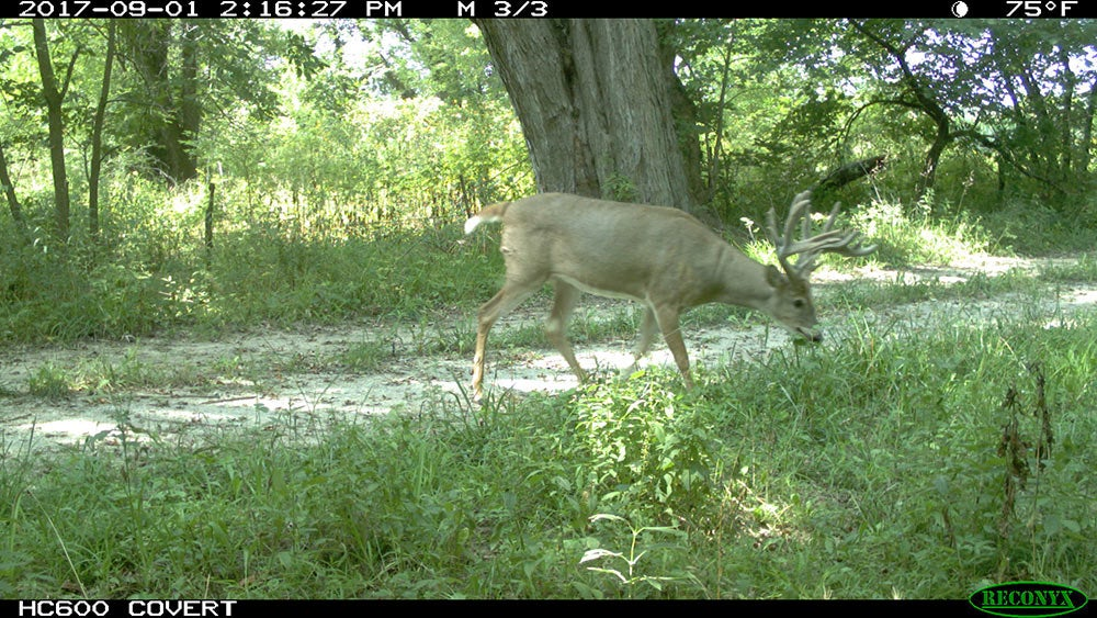 trail cam non-typical buck footage