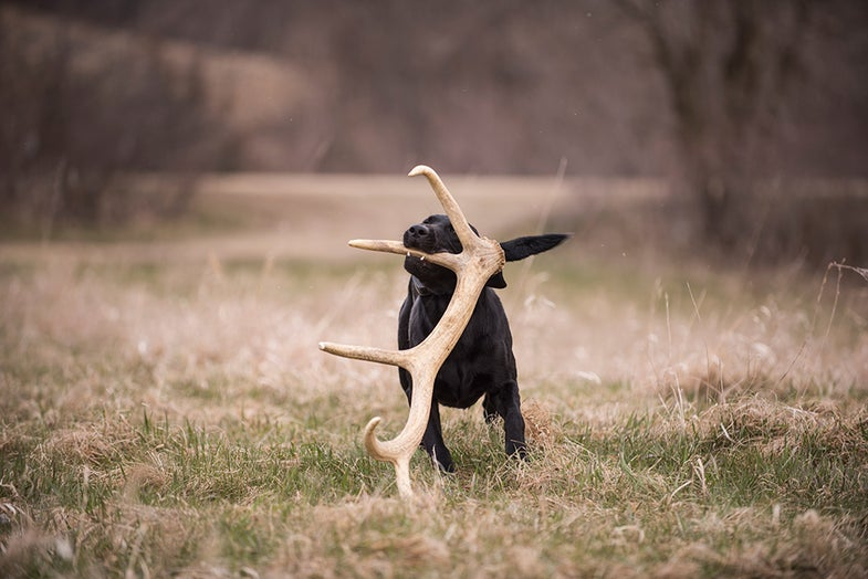 Shed Hunting Dogs: 4 Training Drills to Turn Your Retriever into an Antler Finder