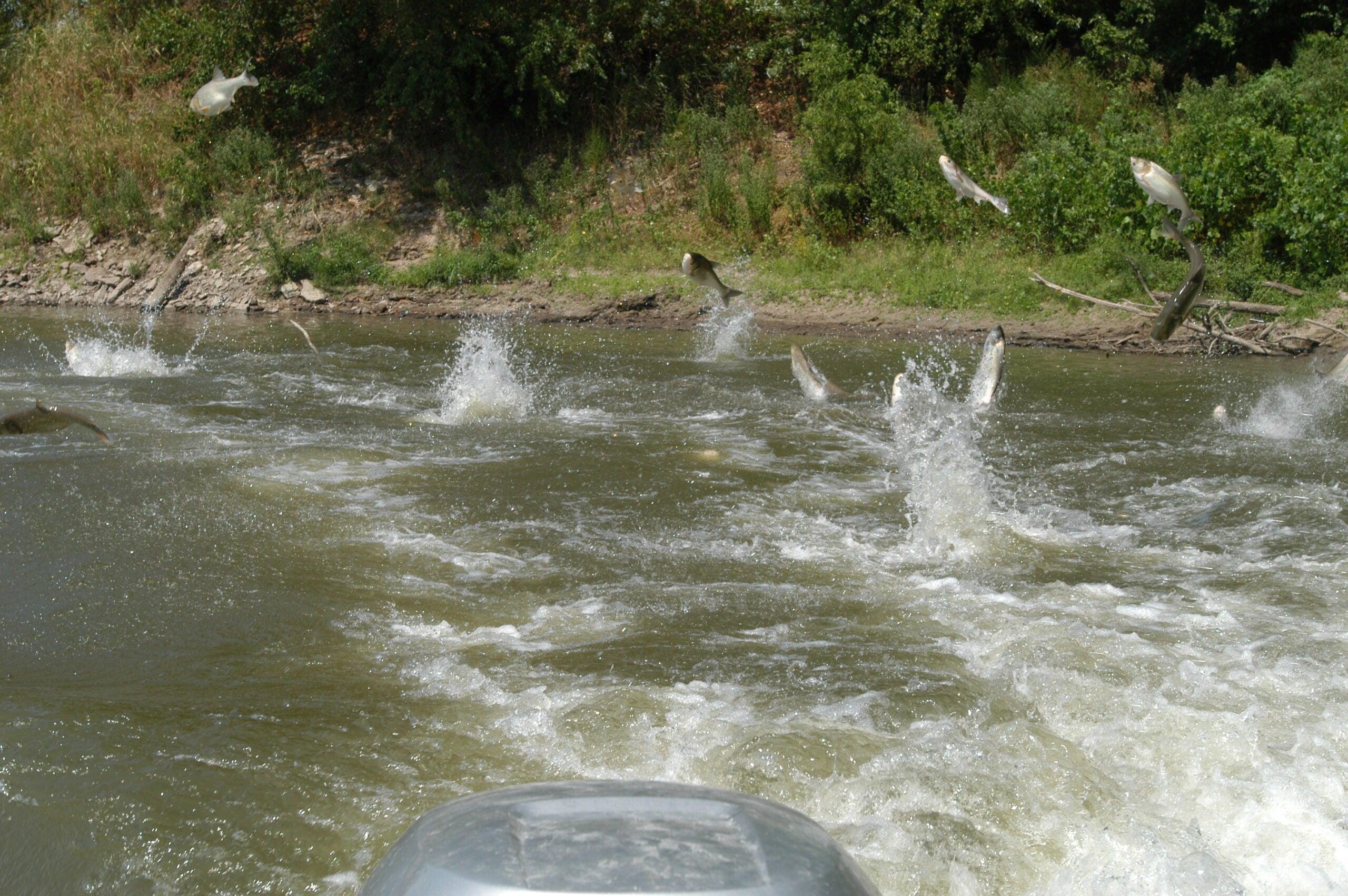 leaping asian carp