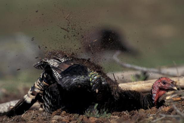 Turkey Calling: Target Call-Shy Gobblers Over Dusting Sites