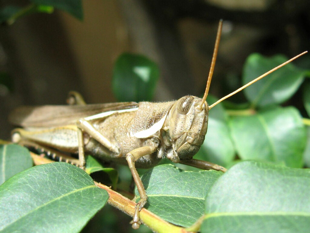Fishing with grasshoppers