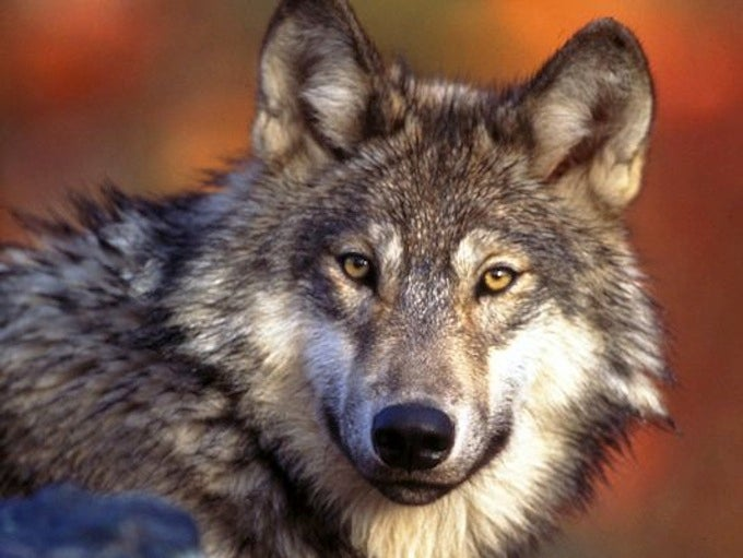 Gray Wolf Returned to Endangered List in Western Great Lakes Region
