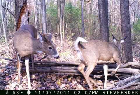 Trail Cam Photos: A Candid Look At Whitetail Breeding Behavior