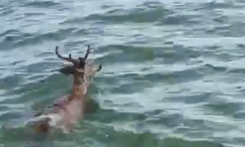 Anglers Rescue Deer from Middle of Lake Erie
