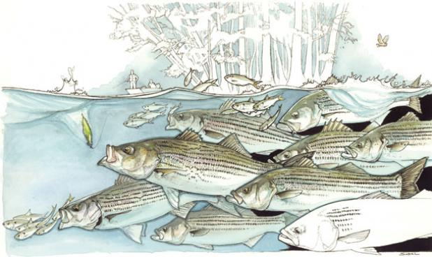 Southern Rock: Fishing the Striped Bass Spring Migration on the Roanoke River