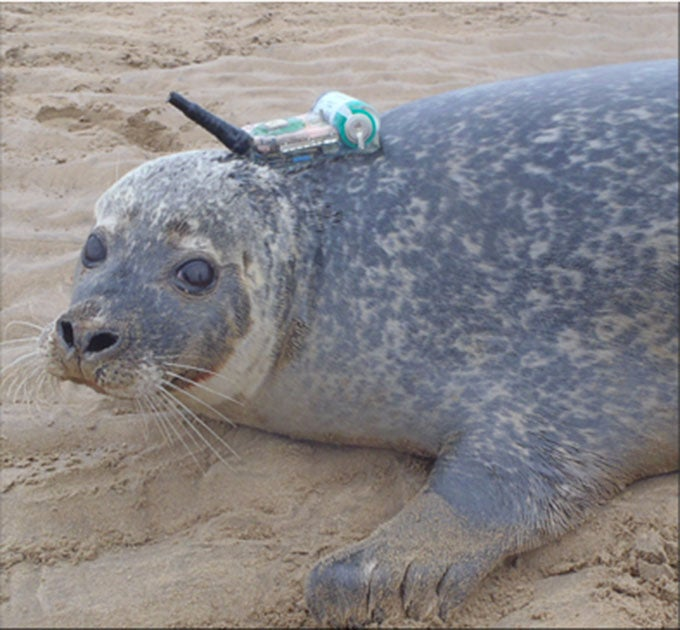 Researchers: Seals Use Offshore Windfarms as Hunting Grounds