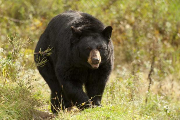 Maine Bear Hunt: Anti Hunters Push Ban Even as Nuisance Complaints Increase