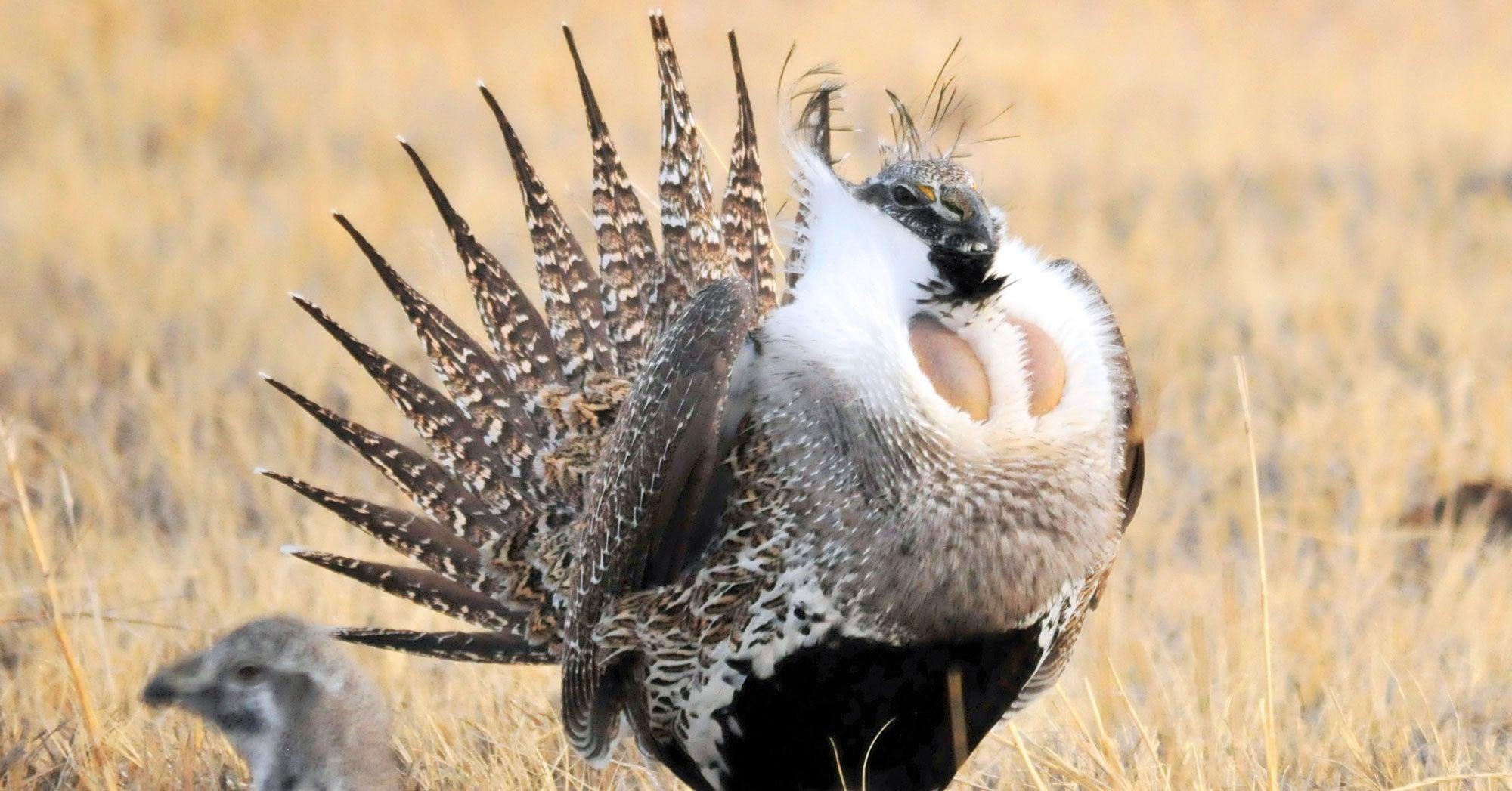 Amendment Undermines Sage Grouse Conservation Effort