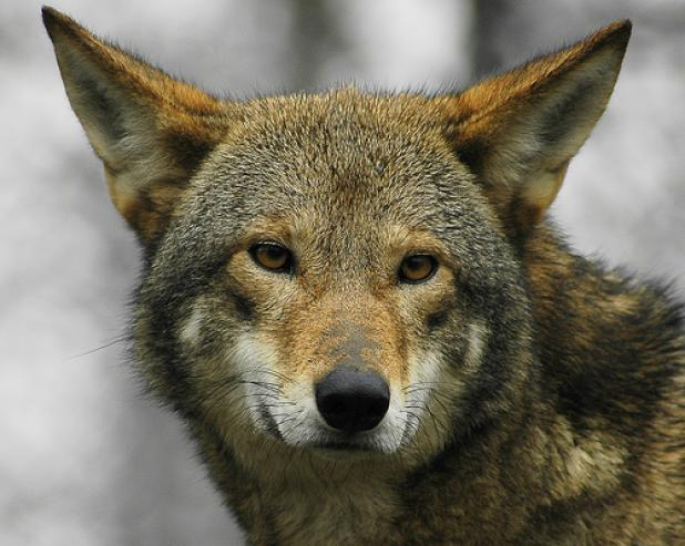 Judge Blocks Coyote Hunting in North Carolina Red Wolf Recovery Area