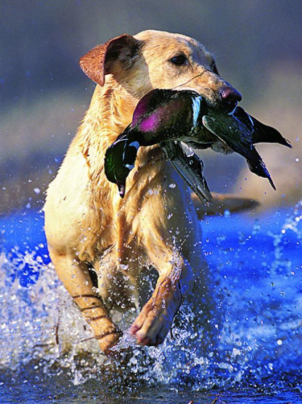 httpswww.fieldandstream.comsitesfieldandstream.comfilesimport2014importBlogPostembedHealthy_Gun_Dog_Food_Diet.jpg