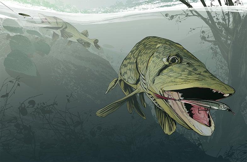 pickerel slamfest illustration