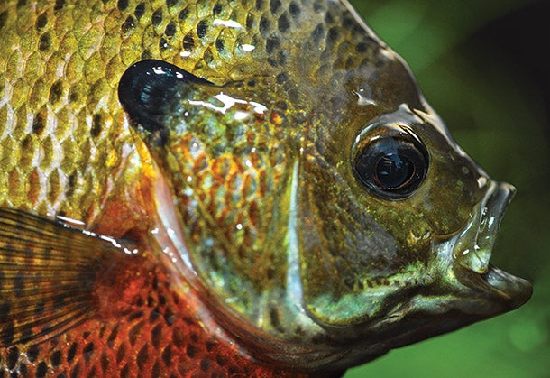 How to Catch Jumbo Bluegills in Your Local Bass Lake