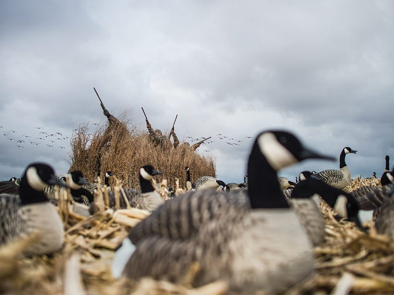 hunters in a brush blind shooting geese