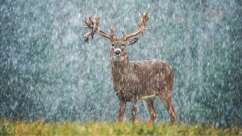 nontypical whitetail buck in snow