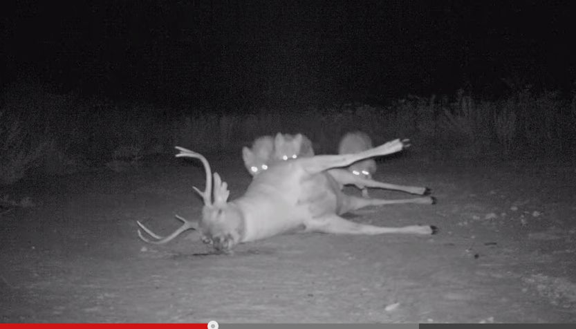Fascinating Time-Lapse Video Shows Scavenger Activity Around Dead Buck's Carcass