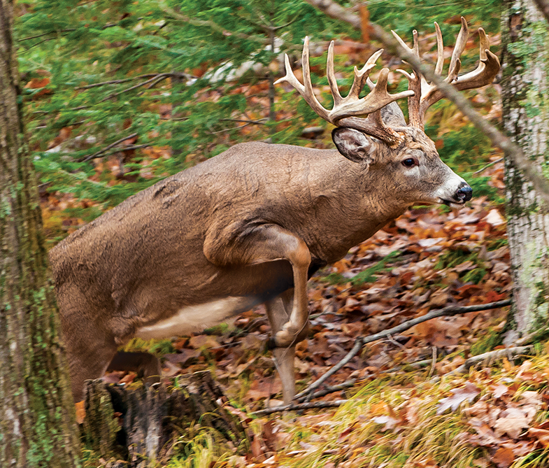 Four Things to Know About Mature Bucks