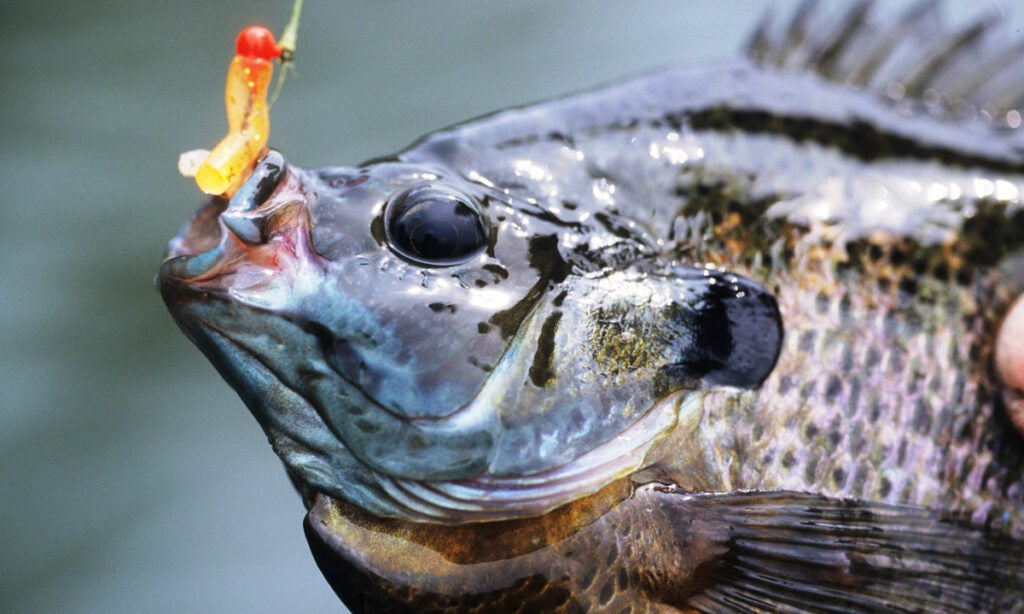panfish, extreme panfish, panfish, best bluegill fishing, bluegill fishing,