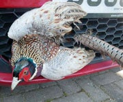 Pheasant Takes 40-Mile Joyride Stuck to Car Grill, Survives