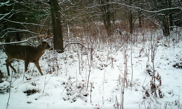 Bucks Still Searching for Estrous Does