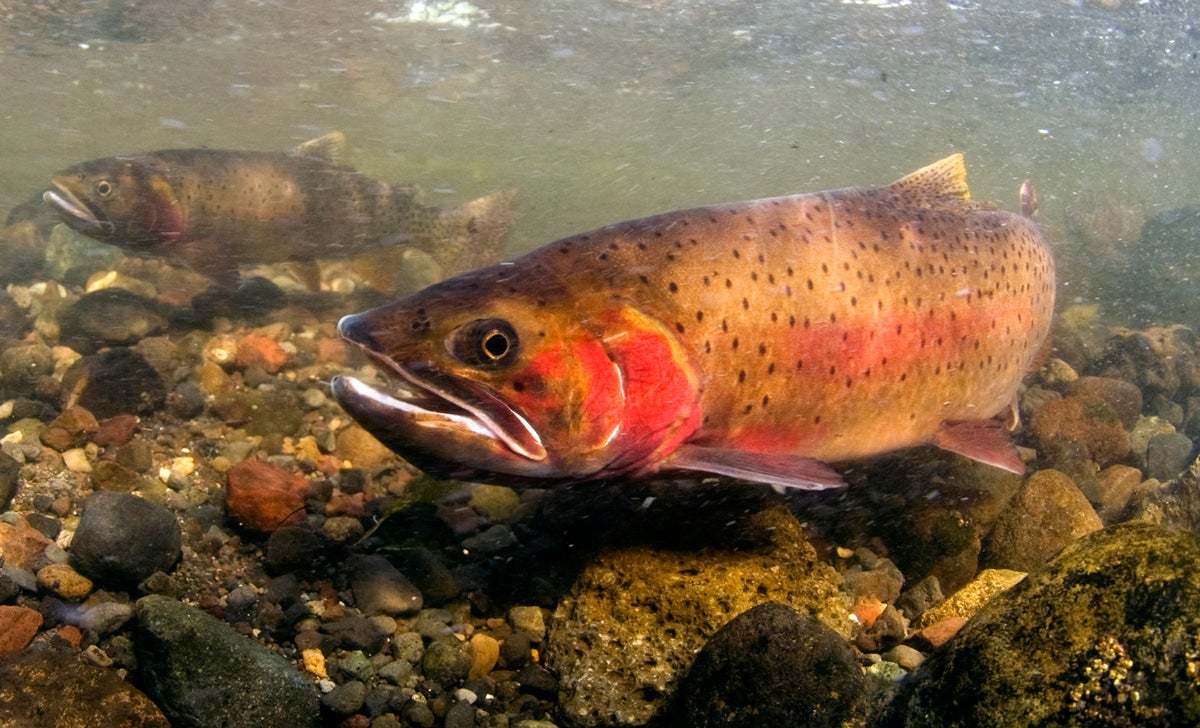 315,000  Lake Trout Culled in Yellowstone to Protect Native Cutthroat