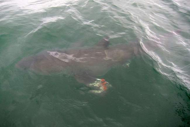 shark, cape cod, boy catches shark, fishing,