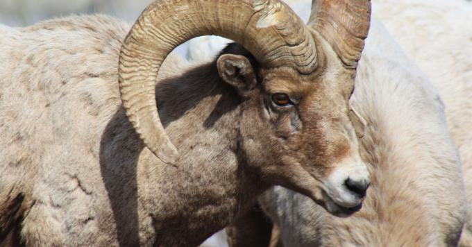 Montana Moves to Let Hunters Remove Diseased Bighorns