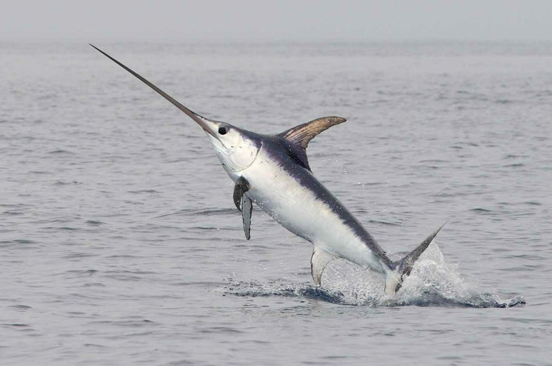 Spearfisherman Speared to Death By Swordfish